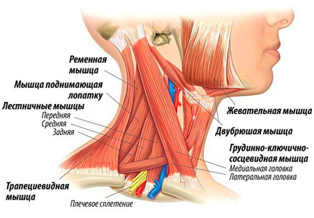 и заметная мышца шеи это,