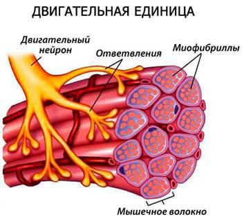 Факторы влияющие на мышечную силу